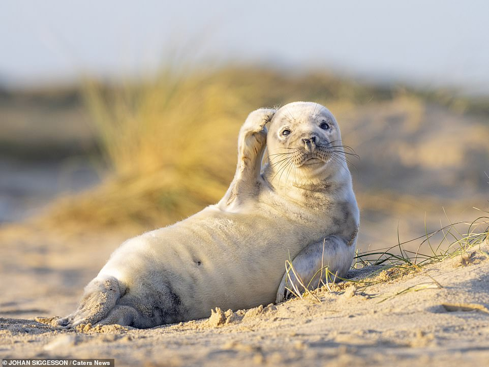 A Grey Seal in Norfolk scratching his head!