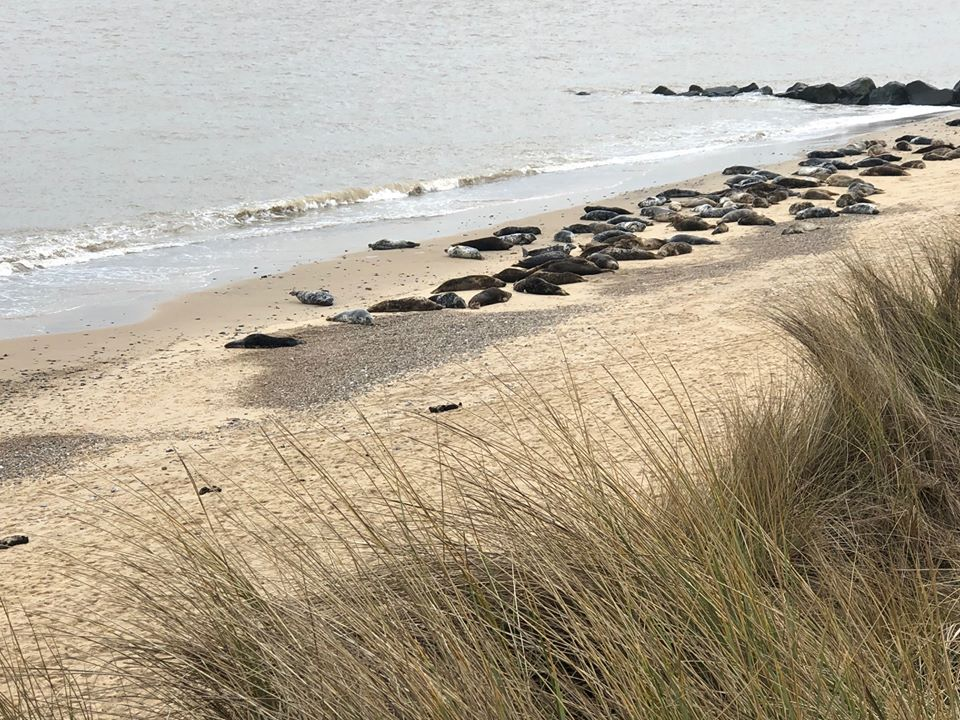 Seals in Norfolk at Horsey