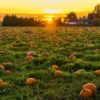 Pumpkin Patches in Suffolk