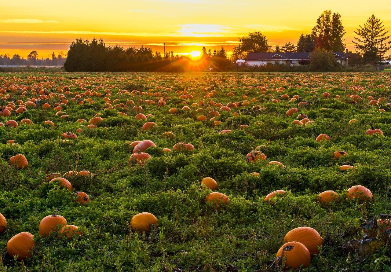 Essex Pumpkin Patches