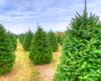 Christmas Tree Farms in Essex