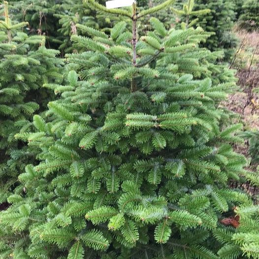Christmas Tree Farm in Essex - Fiveways Fruit Farm