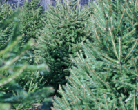 Christmas Tree Farms in Norfolk