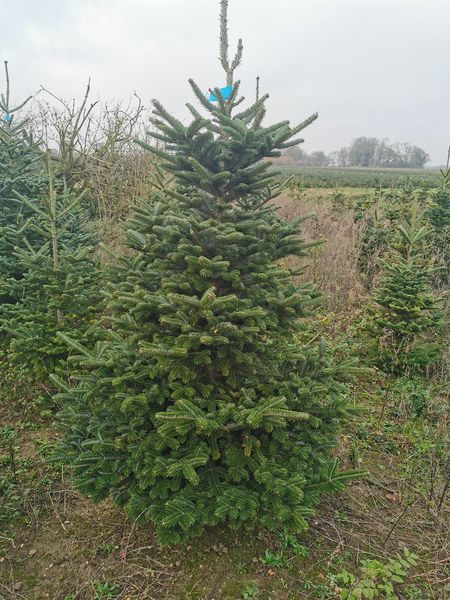 Christmas Trees in Suffolk