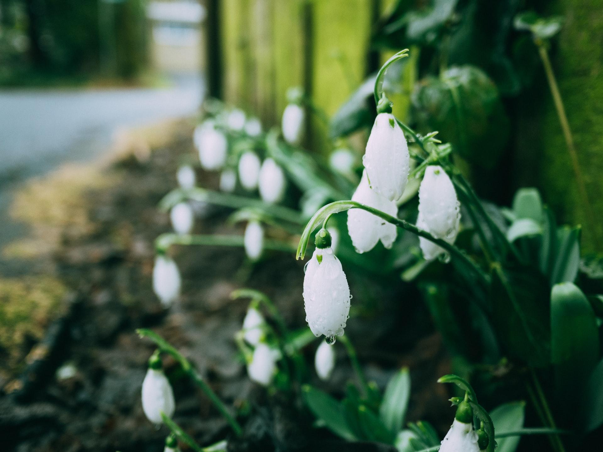 Snowdrop Walks In Norfolk