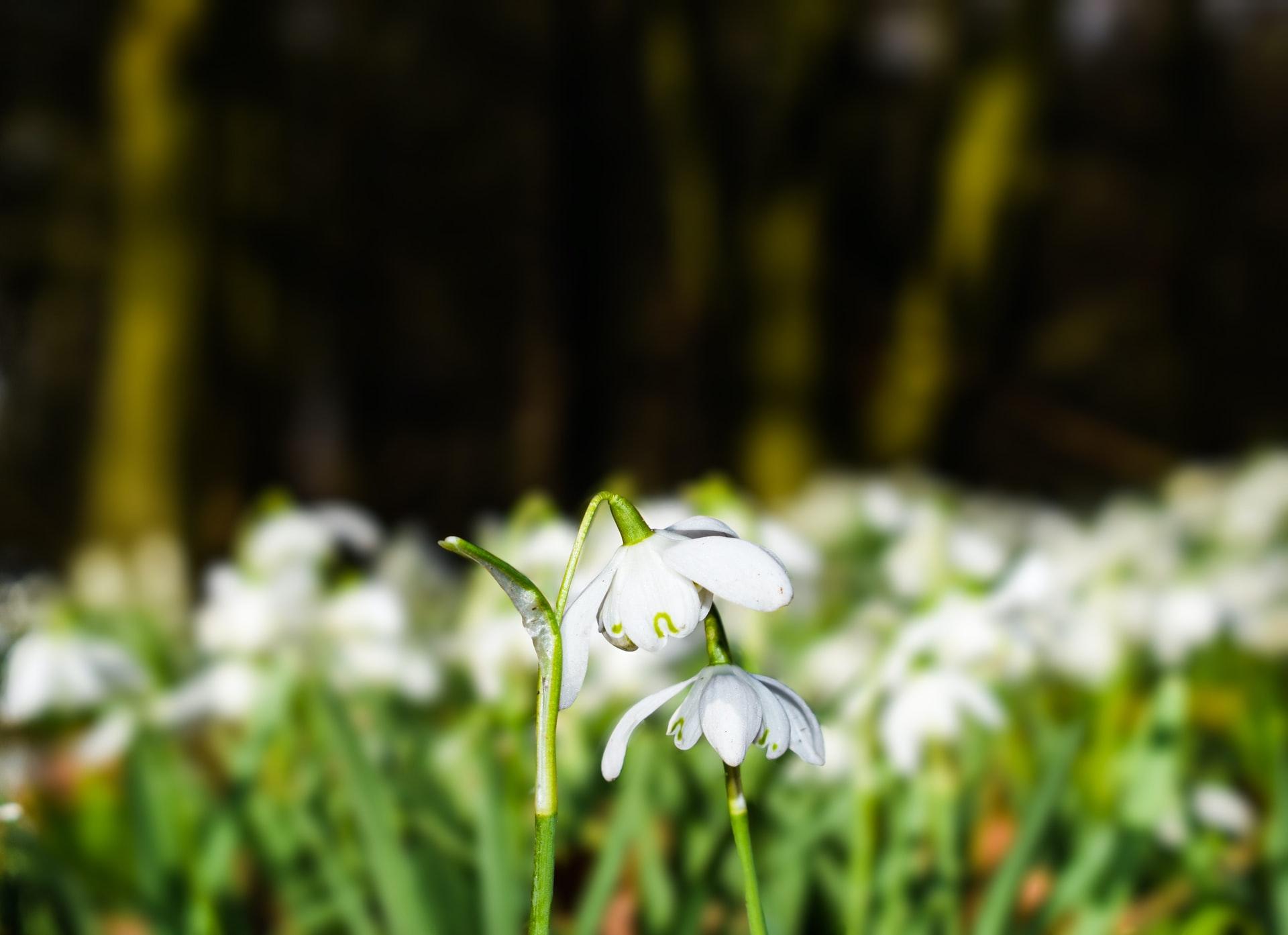 Snowdrop Walks in Suffolk