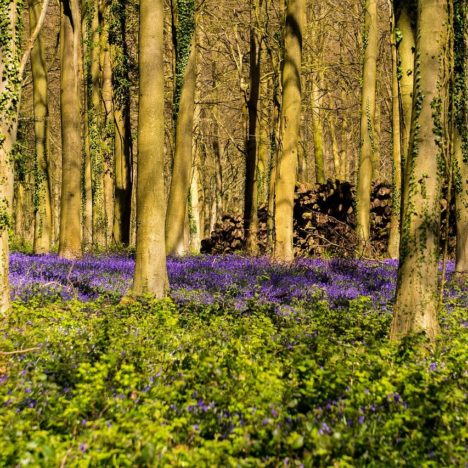 Stunning Bluebell Woods in Suffolk
