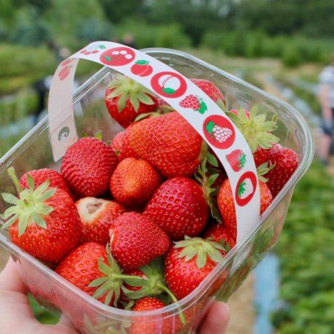 Strawberry Picking in Norfolk